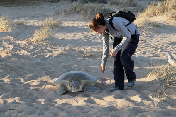 Bushranger walking alongside a turtle as it crawls through the sand